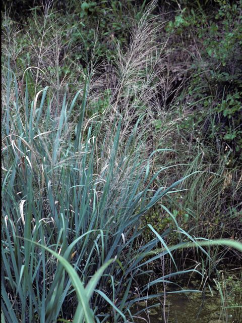 20 best images about home cross timbers 29d grand for Ornamental prairie grass
