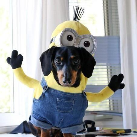 Disfraz casero de los Minions para perro paso a paso #ExpertoAnimal #MundoAnimal #ReinoAnimal #Animales #Naturaleza #AnimalesGraciosos #AnimalesDivertidos #Perros #DisfrazMinions