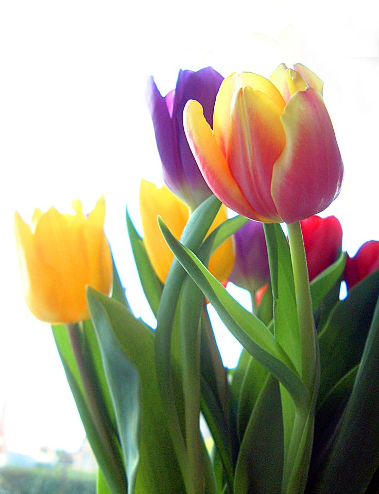 Lovely tulips: Tulips Tulips Tulip, Flower Bomb, Flowers Tulip, Tu Tu Tu Tulip, Tulip, Lale Tulip, Tulip Pretty, Tulip Time, Tulip Tulip