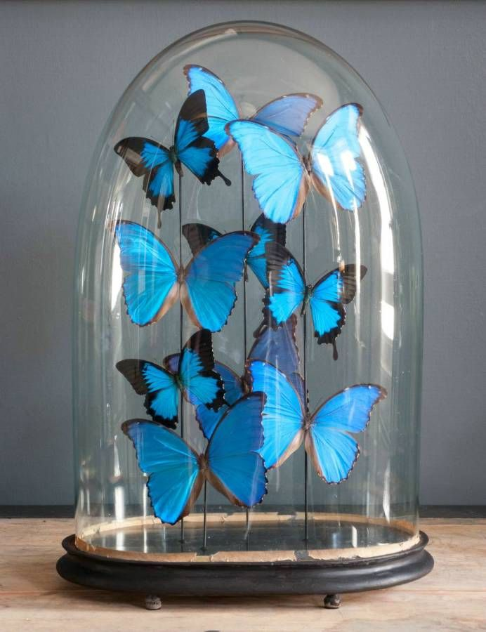 Large blue black butterfly dome from Alex McArthur