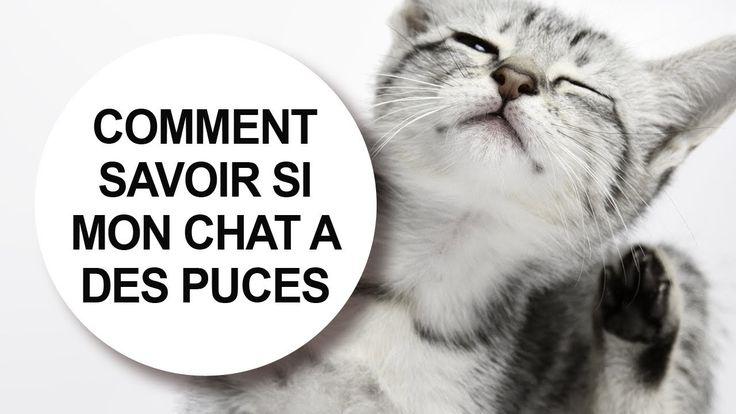Tutoriel vidéo vétérinaire : comment savoir si mon chat a des puces. #infestation #traitement #traiter #parasite #anti-parasitaire #conseil #vétérinaire #crotte #tuer #débarrasser #éliminer #piqure #détecter #félin #plaie #poils