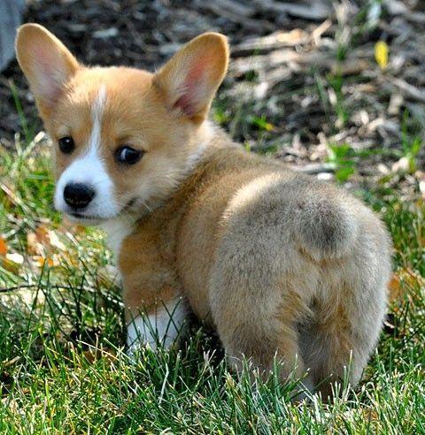 Nothing cuter than a corgi butt.