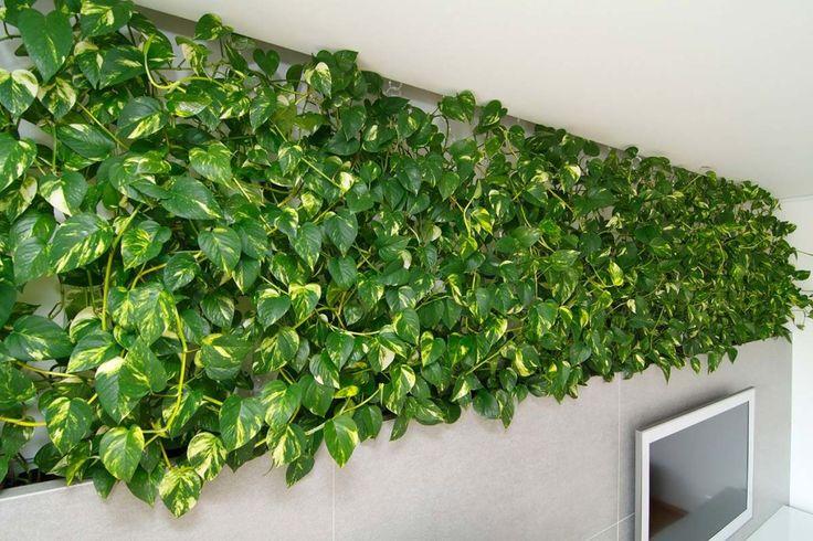 комнатные растения очищающие воздух - эпипремнум