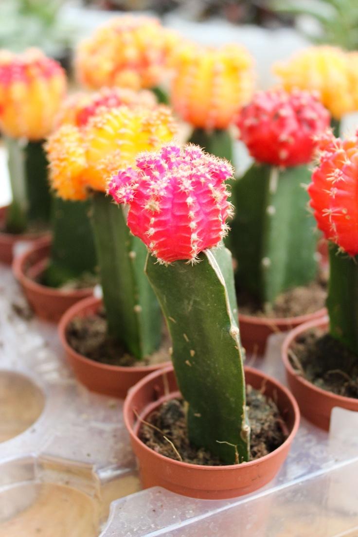 El cactus injertado está compuesto por dos partes: la base la constituye un tallo verde de una variedad de cactus sobre la que se injertan los globos rojos, amarillos, naranjas y rosas del Gymnocalycium.