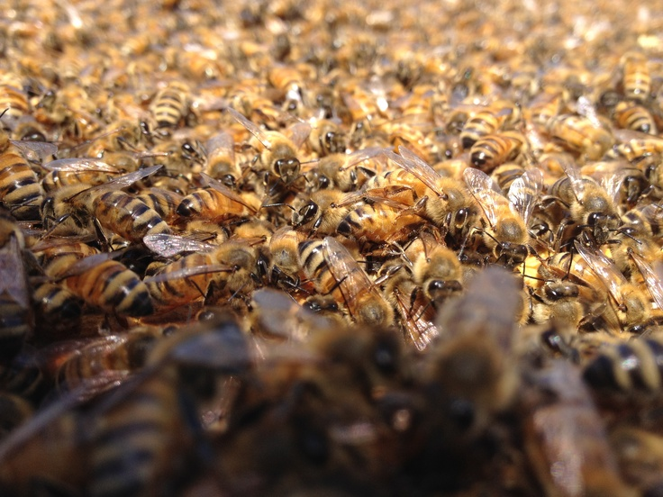 The survival guide for urban beekeeping - SF soma residents dish about the basic steps and more!: Basic Step, Urban Beekeeping, Soma Resident, Resident Dishes, Sf Soma, Survival Guide, Beautiful Art