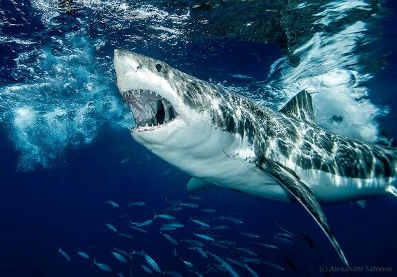 Awesome Great White Shark