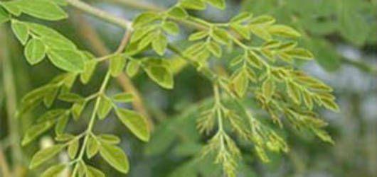 Moringa| FAO | Organización de las Naciones Unidas para la Alimentación y la Agricultura