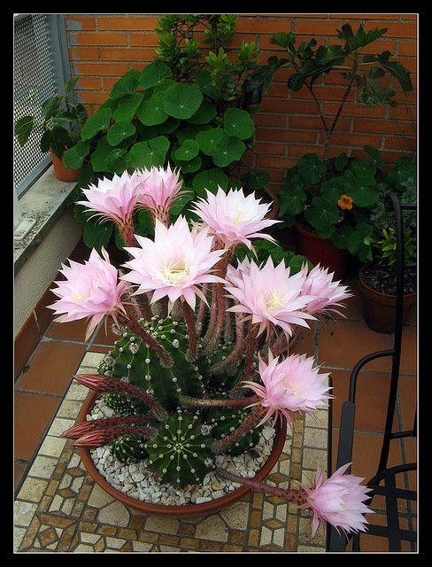 Ombligo de la reina - Echinopsis eyriesii
