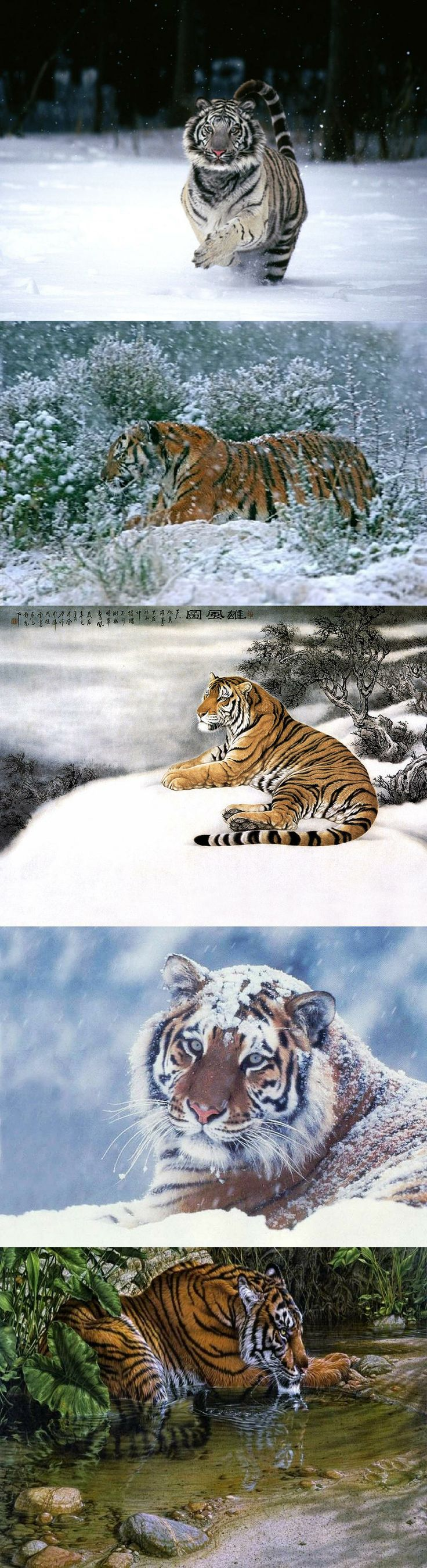 Chinese Mountain Snow Tiger