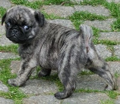 Cute Brindle Pug Puppy Note from the pinner:  Is this an actual pug color?  I'm not sure it's been universally accepted.  Cute guy, but....