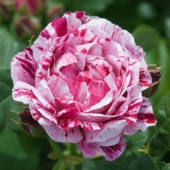 Ferdinand Pichard - David Austin Roses