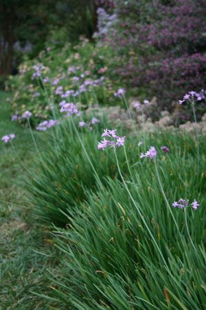 Society Garlic Tulbaghia violacea is a fast growing plant that forms clumps reaching 30 inches in height. This plant grows well in dry circumstances and makes a good rock garden or container plant. The plant has gray-green narrow leaves that are somewhat evergreen in warmer climates. Society Garlic gives off a garlic scent and has been said to help rid gardens of mole problems. The flowers are lilac in color and the plant will bloom from midsummer to early fall