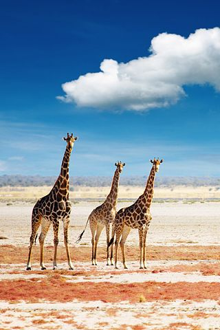 Three beautiful African Giraffes!!! If I had a choice between giraffes or pink, I'd choose giraffes