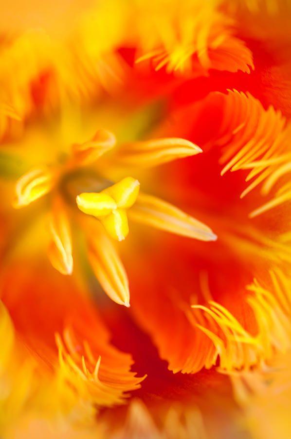 Orange Passion. Tulip Macro Photograph by Jenny Rainbow