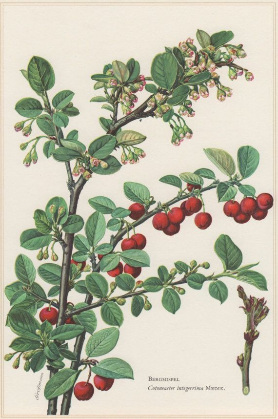 1960 Vintage Botanical Print Cotoneaster integerima by Craftissimo