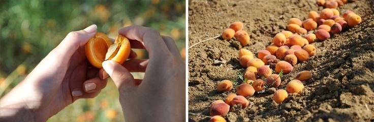Sun warm apricots