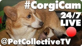 SO THIS IS FREAKING AWESOME!!!: Petcollectivetv Subs4Pet, Corgi Cam, Subs4Pet Mondays, Pet Collection, Collection Tv, Corgi Puppies, Living Corgicam, Corgicam Petcollectivetv, Petcollectivetv Watches