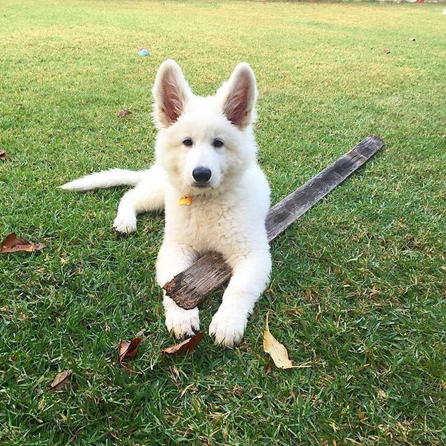 This Is My Stick There Are Many Like It But This One Is Mine Cosmothewss Germanshepherds German Shepherd Puppies German Shepherd Dogs German Shepherd