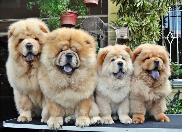 Chow Chow Party ;)