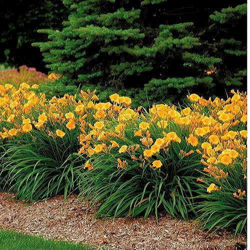 Stella D'Oro Day Lily