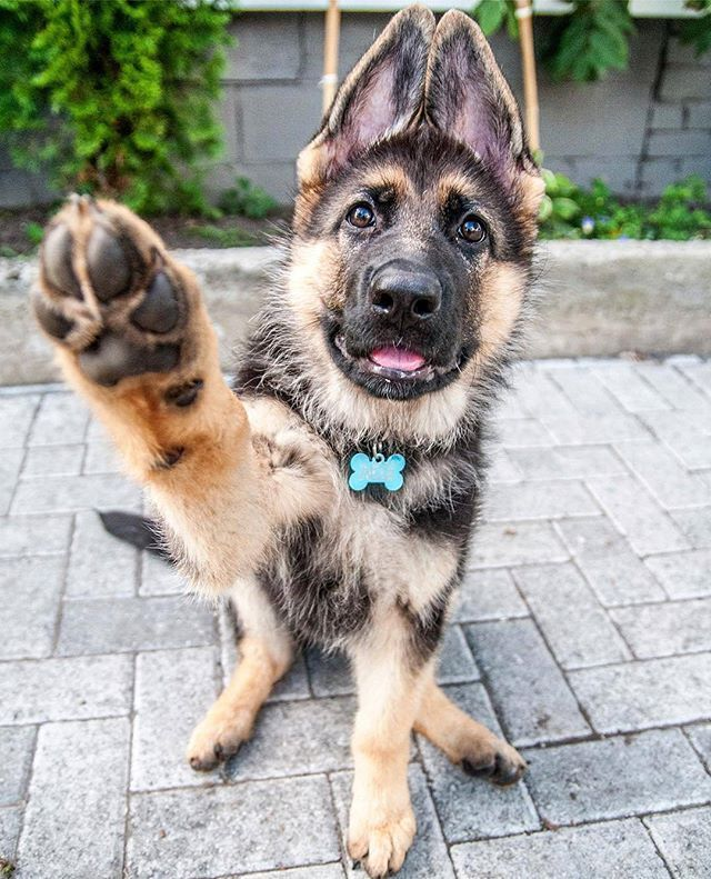 Hi Five If You Like German Shepherds Novvithegsd Germanshepherd