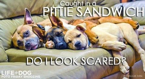 Do I look scared? The Truth About Pit Bulls - FBPitti Pride, Things Pitbull, Pit Bullsdeserv, Pitti Sandwiches, Bans Love Pitbull, Pitbull Stuff, American Pit, Pitti Places, Furries Friends