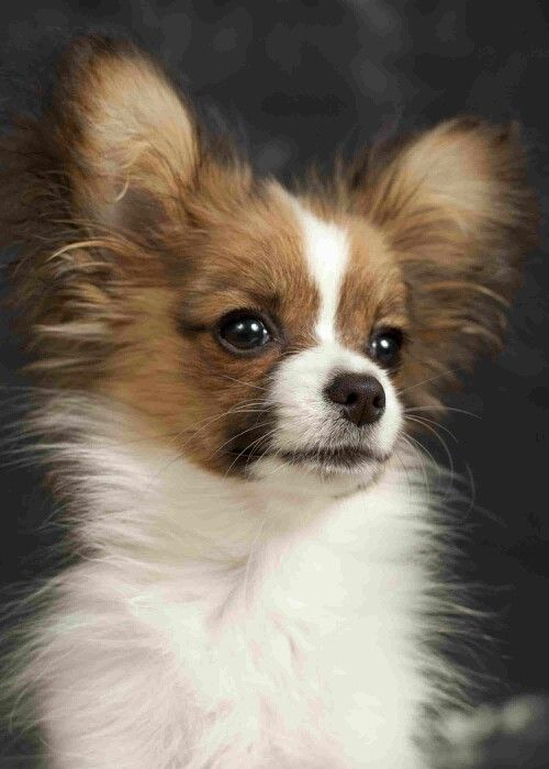 Family Treasured Papillon - so specially cute