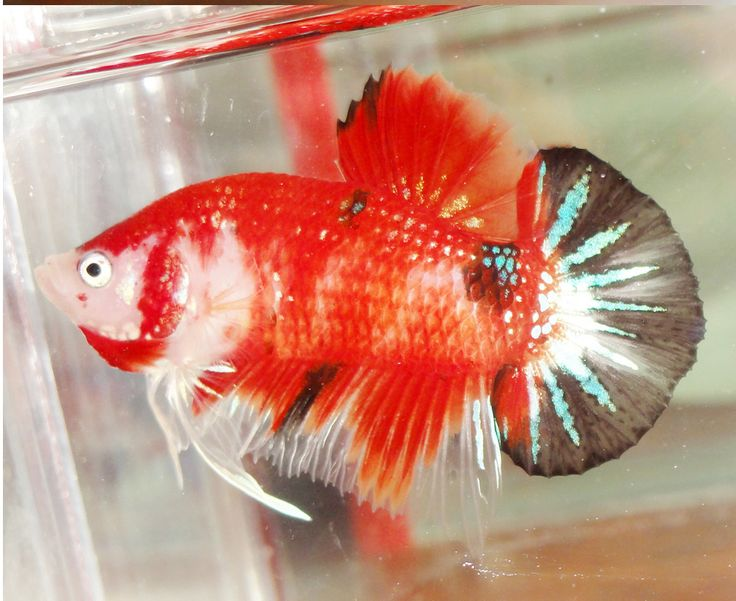 17 best images about plakat marble tiger koi betta on for Male koi fish
