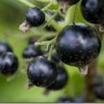 Human study: Anthocyanin-rich blackcurrant extract reduces postprandial blood sugar