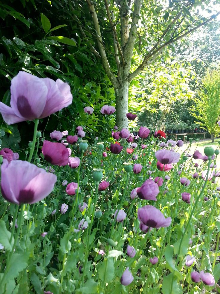 Mauve poppies in the Walled Garden at Crook Hall, Durham, north east England