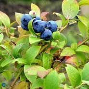 Blåbær busk  Blåbær, Blue Crop. Frugtbusk.: små blådugget mild bær. modnes i 7-8 mån. lev.i potte (mp34)