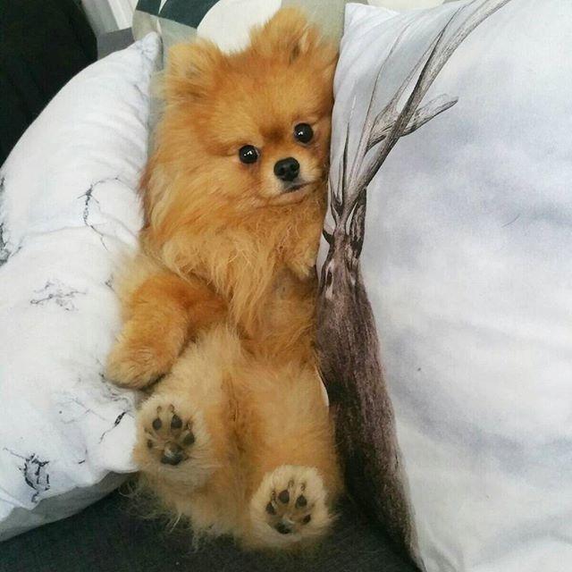 2111 Best Pom Wonderful Images On Pinterest Pomeranian