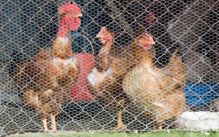 Como manter pássaros selvagens longe de um galinheiro | eHow Brasil