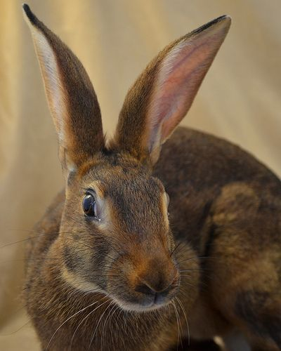 Belgian Hare doe