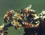 Stung by Killer Bees - Here is What you Should Do About Africanized Honey Bee Stings