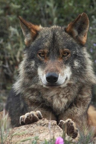 observing #wolf #wolves                                                                                                                                                     Plus