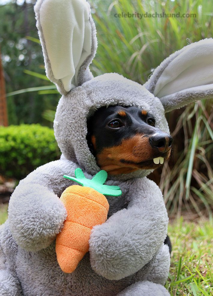 Easter Bunny Dachshund More
