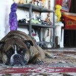 Bethany Nauert  Antonio Ballatore, Chewie, English Bulldog, interior design photographer