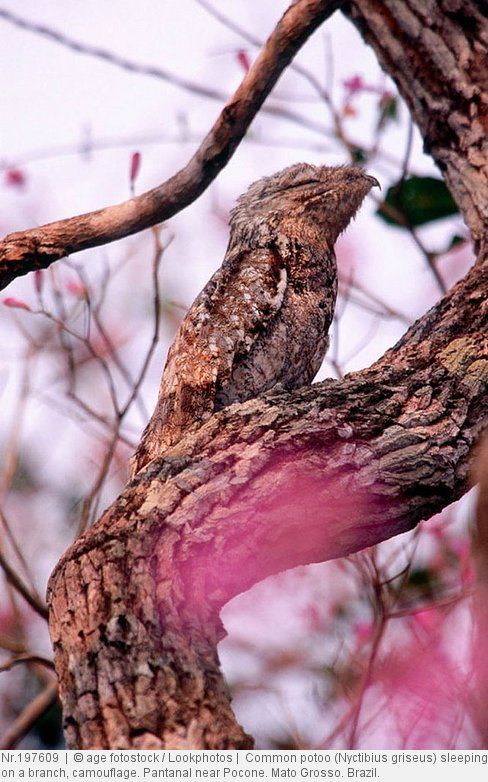 Common potoo (Nyctibius griseus) sleeping on a branch, camouflage. Pantanal near Pocone. Mato Grosso. Brazil.