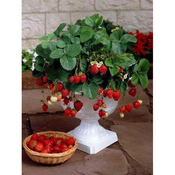 """Garten-Monats-Erdbeere """"Ostara"""" 10er-Tray Fragaria"""