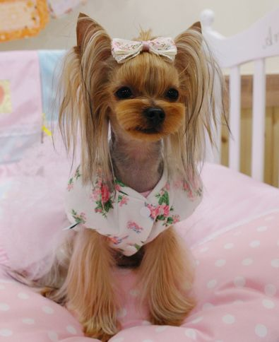 female yorkie haircuts 481 best images about grooming looks amp styles on 3159 | b1e2f9eec7cfc06d9ae1cfeb3c4169b4