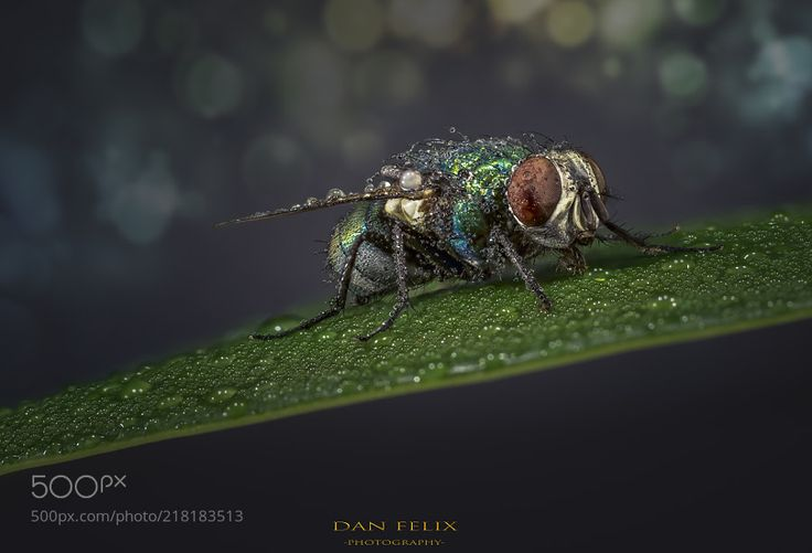 The Fly II - focus stacking with 20 pictures
