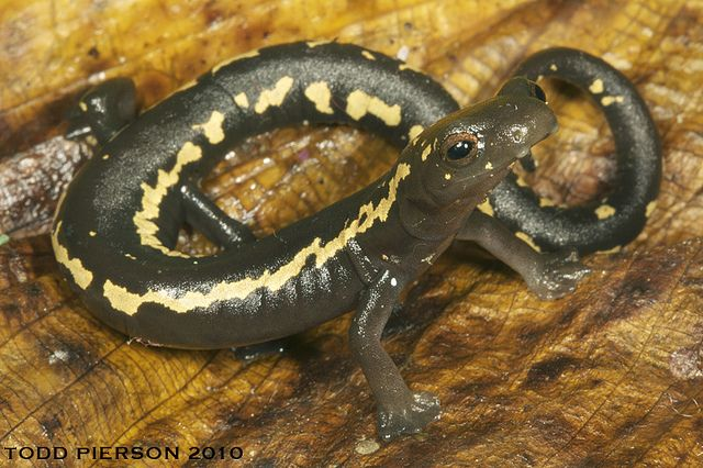 O'Donnell's Salamander - Bolitoglossa odonnelli  Also commonly known as Mushroomtongue salamander, Bolitoglossa odonnelli (Plethodontidae) is considered part of a complex of three species that are difficult to separate morphologically. This species, once common but now rare, occurs in rainforests and cloud forests of Guatemala and Honduras, and is regarded as Endangered on the IUCN Red List.  References: [1] - [2] Photo credit: ©Todd W. Pierson | Locality: Alta Verapaz, Guatemala ...