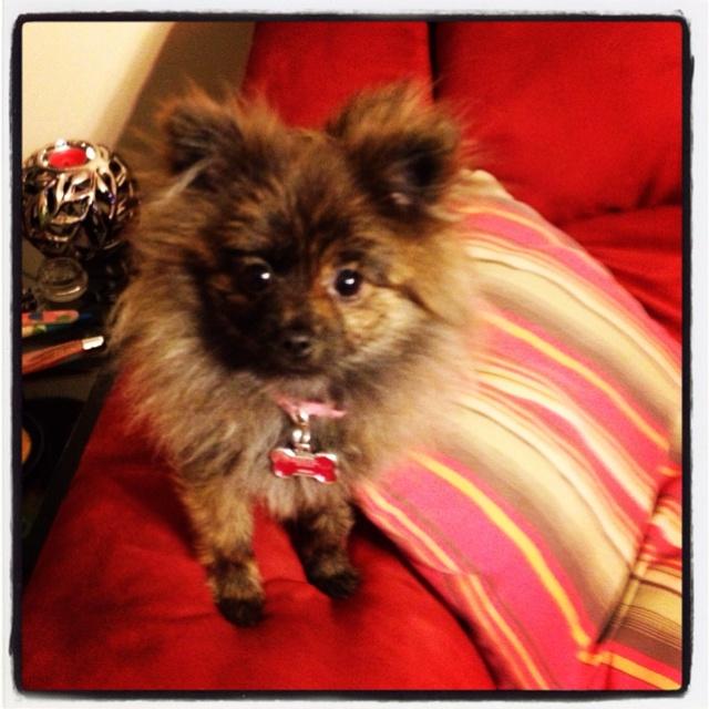 My love.....Coco....toy Pomeranian