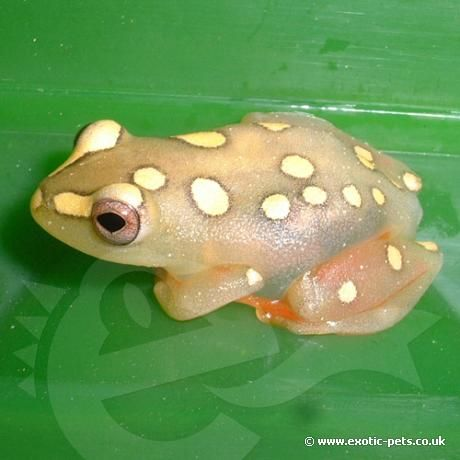 Argus Reed Frog. This shows a female Argus Reed Frog, they are brightly coloured and marked compared to the males.