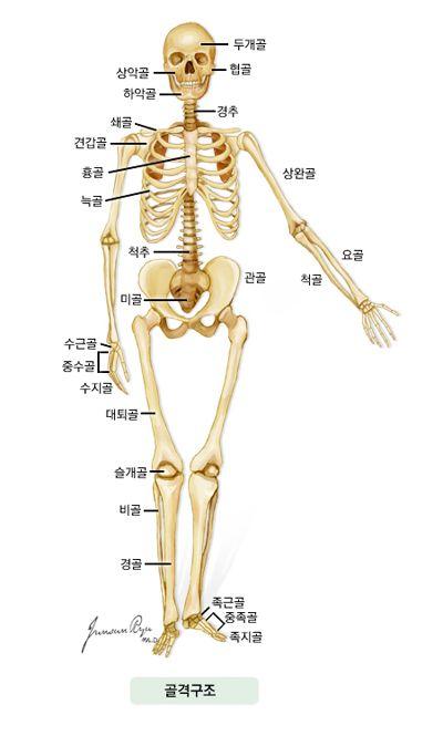 골격구조 -두개골, 상악골, 협골, 하악골, 경추, 쇄골, 견갑골, 흉골, 늑골, 상완골, 요골, 척골, 척수, 관골, 미골, 수근골, 중수골…
