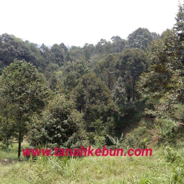 Dijual tanah kebun durian luas 18 hektar SHM. Price 80.000/permeter.  More info www.tanahkebun.com