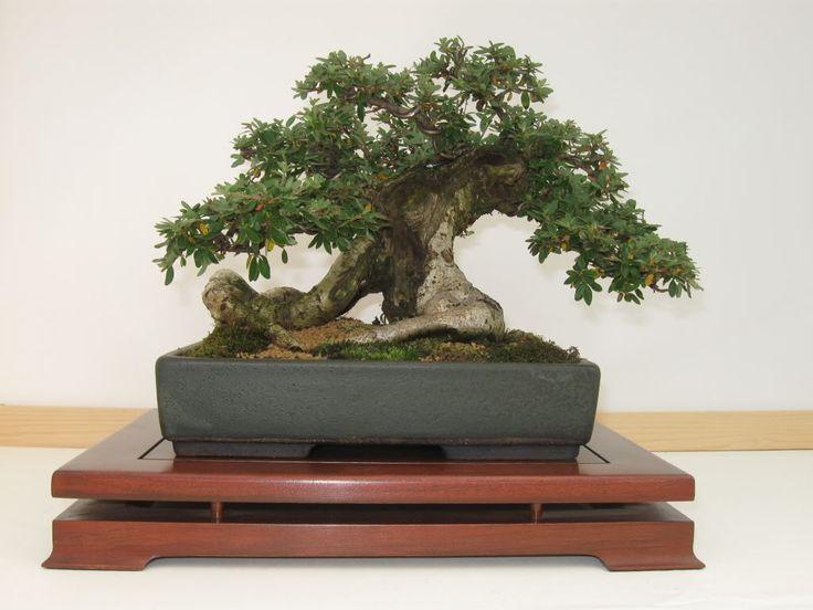 die besten 25 cotoneaster bonsai ideen auf pinterest. Black Bedroom Furniture Sets. Home Design Ideas