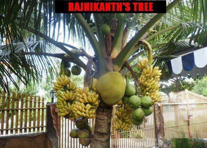 Rajnikants' fruit tree.