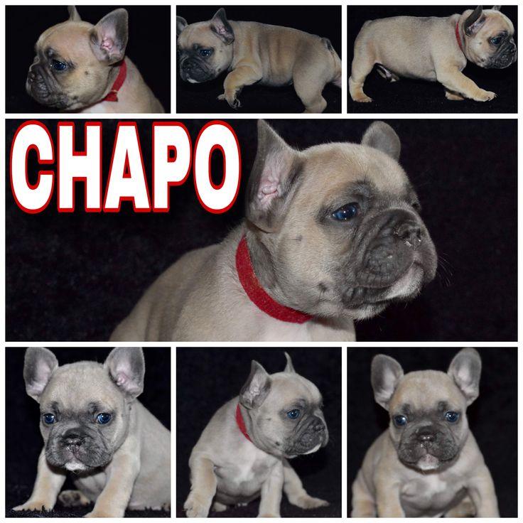 Choppo a male french bulldog puppy near houston texas